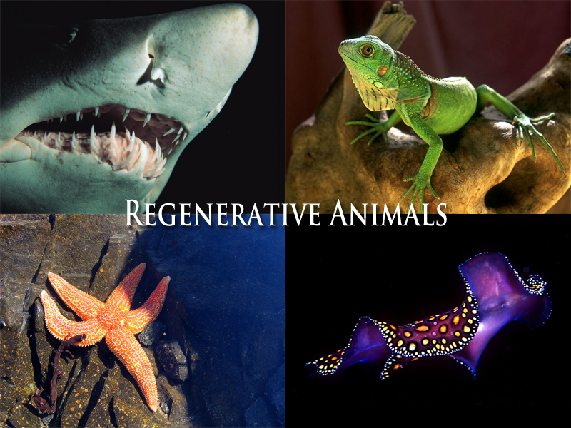 Regenrative Animals do not scar